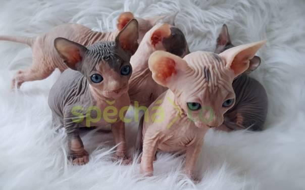 Sphynx koťata k dispozici pro nové domy, foto 1 Zvířata, Kočky | spěcháto.cz - bazar, inzerce zdarma