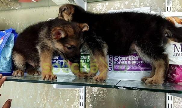 Kvalitní štěňata německého ovčáka, foto 1 Zvířata, Psi | spěcháto.cz - bazar, inzerce zdarma