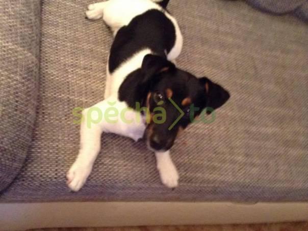 Prodám štěně Jack Russela , foto 1 Zvířata, Psi | spěcháto.cz - bazar, inzerce zdarma