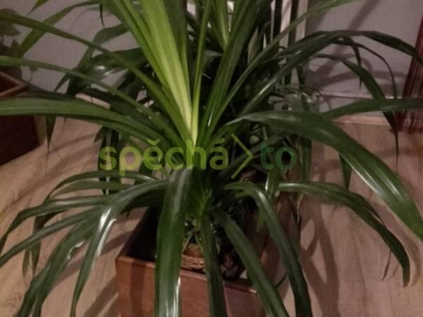 palma PANDANUS, foto 1 Zahrada, zahradní příslušenství, Venkovní nábytek | spěcháto.cz - bazar, inzerce zdarma