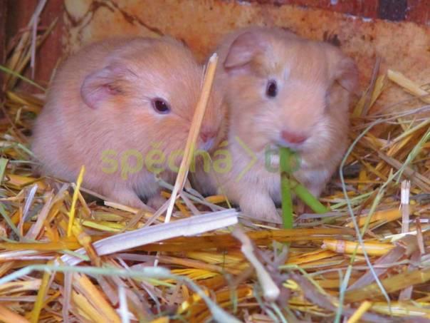 Morčátka, foto 1 Zvířata, Drobní savci   spěcháto.cz - bazar, inzerce zdarma