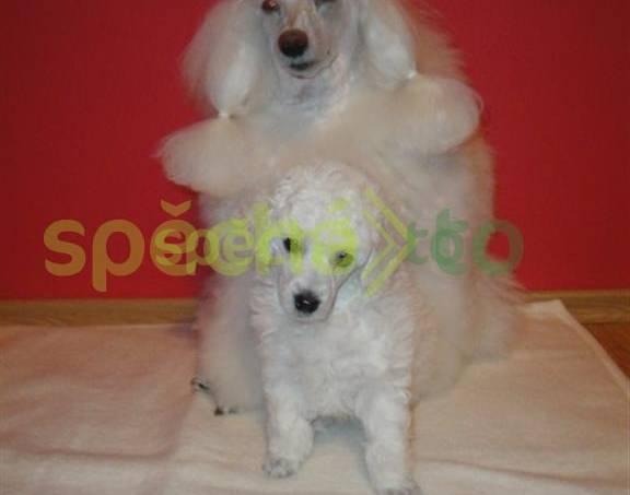 Pudl trpasličí bílý, foto 1 Zvířata, Psi | spěcháto.cz - bazar, inzerce zdarma
