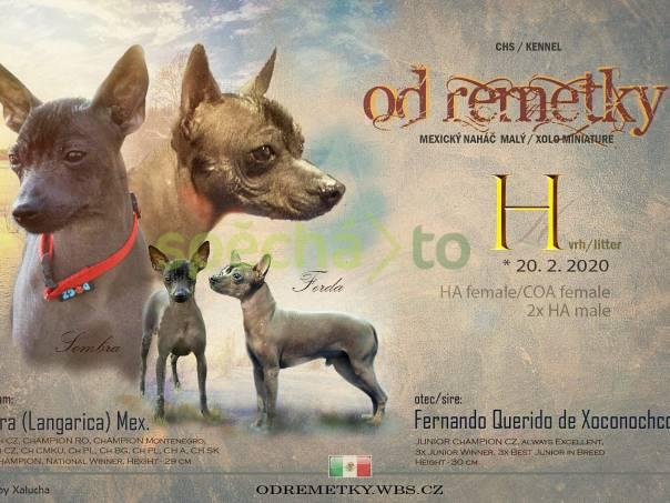 peruánský  a mexický naháč, foto 1 Zvířata, Psi | spěcháto.cz - bazar, inzerce zdarma