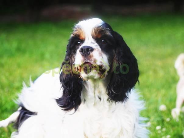 Americký kokršpaněl štěně s PP  de649a1087