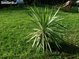 Větší palma na terasu nebo do zimní zahrady