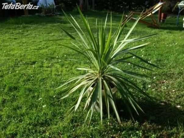 Větší palma na terasu nebo do zimní zahrady, foto 1 Dům a zahrada, Dílna | spěcháto.cz - bazar, inzerce zdarma