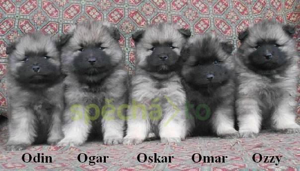Německý špic vlčí / keeshond prodám krásná štěňata s PP, foto 1 Zvířata, Psi | spěcháto.cz - bazar, inzerce zdarma