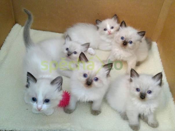 sladká koťata Ragdoll   , foto 1 Zvířata, Kočky   spěcháto.cz - bazar, inzerce zdarma