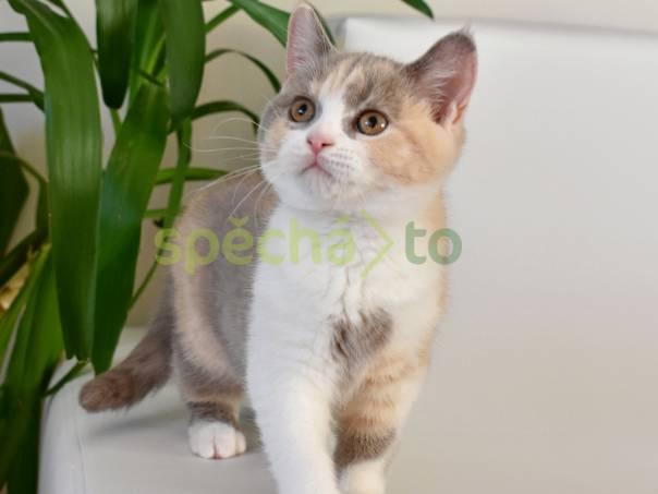 Britská koťátka s PP, foto 1 Zvířata, Kočky | spěcháto.cz - bazar, inzerce zdarma