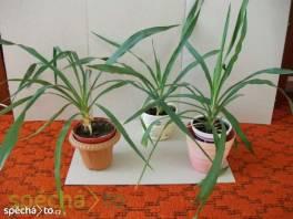 Mladé palmičky - yucca