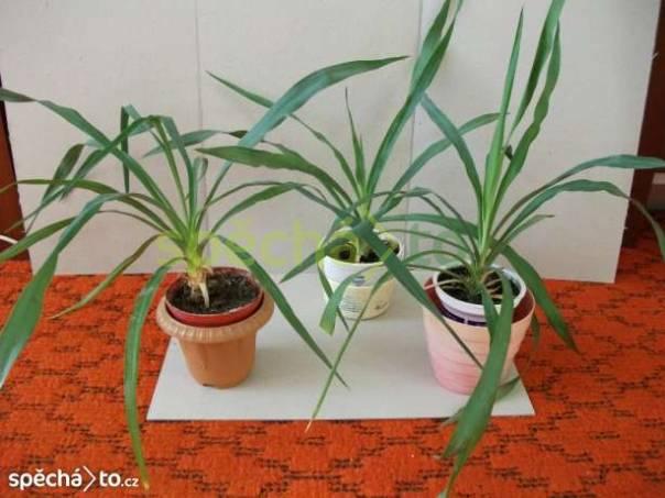Mladé palmičky - yucca, foto 1 Dům a zahrada, Dílna | spěcháto.cz - bazar, inzerce zdarma