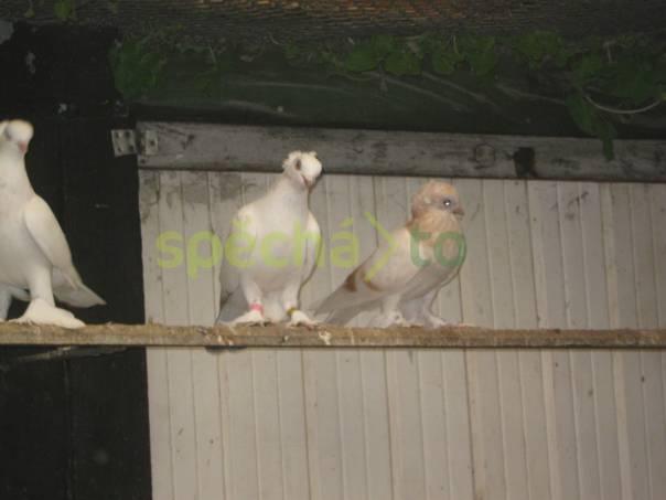 Holubi, foto 1 Zvířata, Ptáci | spěcháto.cz - bazar, inzerce zdarma