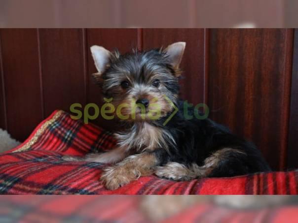 Roztomilá a roztomilá štěňata Yorkie, foto 1 Zvířata, Psi | spěcháto.cz - bazar, inzerce zdarma