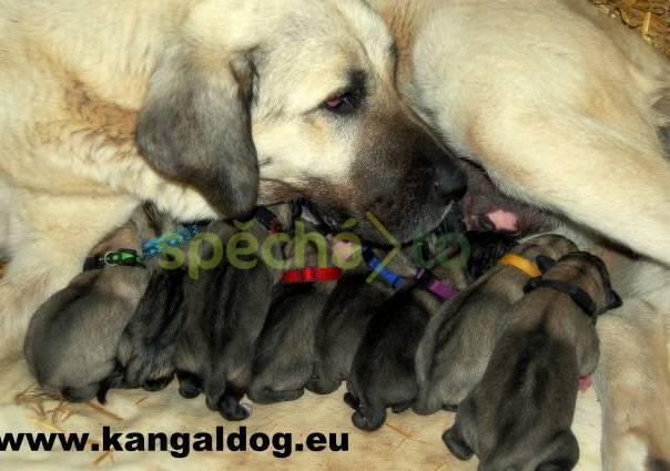 Kangal  Anatolský pastevecký pes   f7ee4c71bec