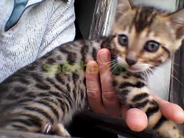 Bengálské kotě, foto 1 Zvířata, Kočky | spěcháto.cz - bazar, inzerce zdarma