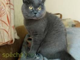 Britský modrý kocour bez PP , Zvířata, Kočky  | spěcháto.cz - bazar, inzerce zdarma