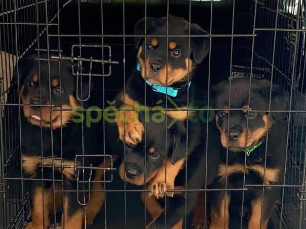 Rottweiller štěňata jsou k dispozici, foto 1 Zvířata, Psi | spěcháto.cz - bazar, inzerce zdarma