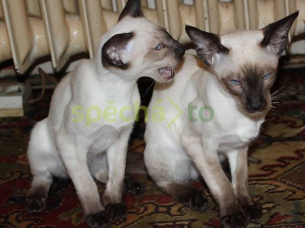 Siamská koťata s PP, foto 1 Zvířata, Kočky | spěcháto.cz - bazar, inzerce zdarma