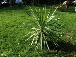 Větší palmy na terasu nebo k bazénu