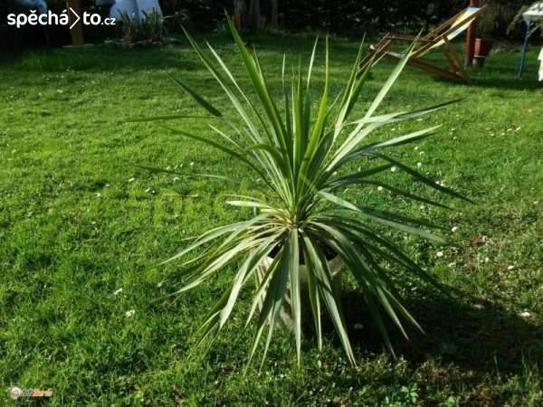 Větší palmy na terasu nebo k bazénu, foto 1 Dům a zahrada, Dílna | spěcháto.cz - bazar, inzerce zdarma