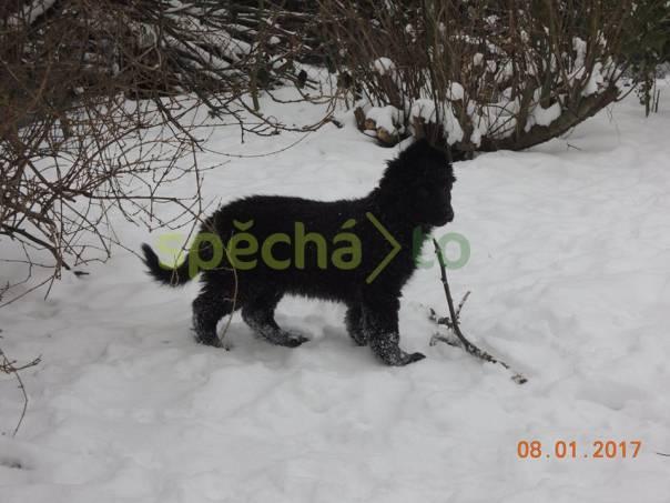 Štěňátka německého ovčáka s PP, foto 1 Zvířata, Psi | spěcháto.cz - bazar, inzerce zdarma