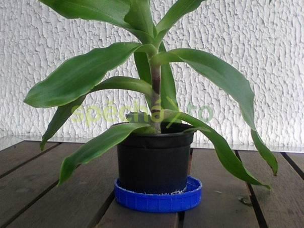 Pokojová rostlina -  léčivá Kalisie voňavá., foto 1 Zahrada, zahradní příslušenství, Osivo a plodiny | spěcháto.cz - bazar, inzerce zdarma