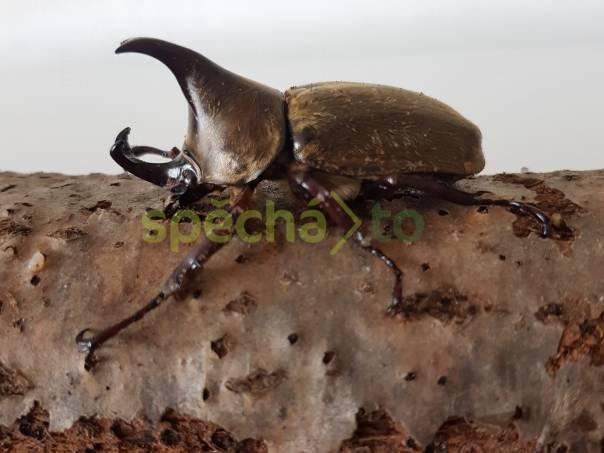 Xylotrupes pubescens, foto 1 Zvířata, Terarijní zvířata | spěcháto.cz - bazar, inzerce zdarma