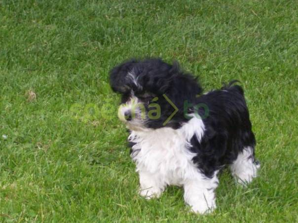 Havanský psík - bišonek bez PP 20826b70a6