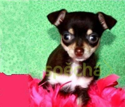 Roztomilý malý pes čivava štěně, foto 1 Zvířata, Psi   spěcháto.cz - bazar, inzerce zdarma