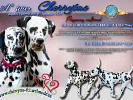 Dalmatin , Zvířata, Psi    spěcháto.cz - bazar, inzerce zdarma