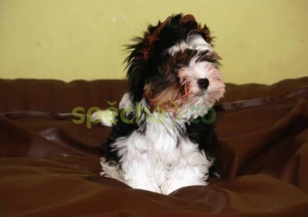 Biewer terrier, foto 1 Zvířata, Psi | spěcháto.cz - bazar, inzerce zdarma