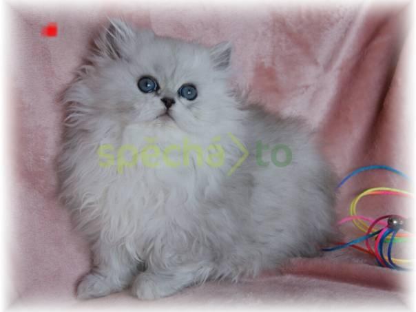 Koťata Koťátka Perská Činčila s PP, foto 1 Zvířata, Kočky | spěcháto.cz - bazar, inzerce zdarma