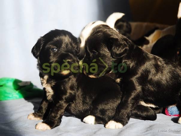 Štěně Tibetského teriéra s PP, foto 1 Zvířata, Psi | spěcháto.cz - bazar, inzerce zdarma