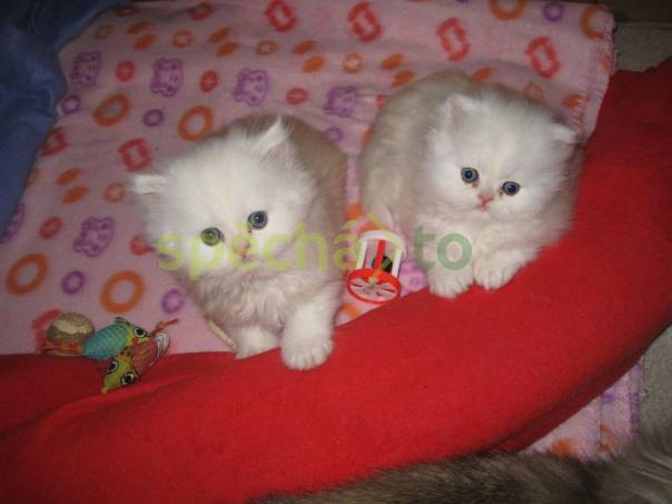 Perské kotě na prodej, foto 1 Zvířata, Kočky   spěcháto.cz - bazar, inzerce zdarma