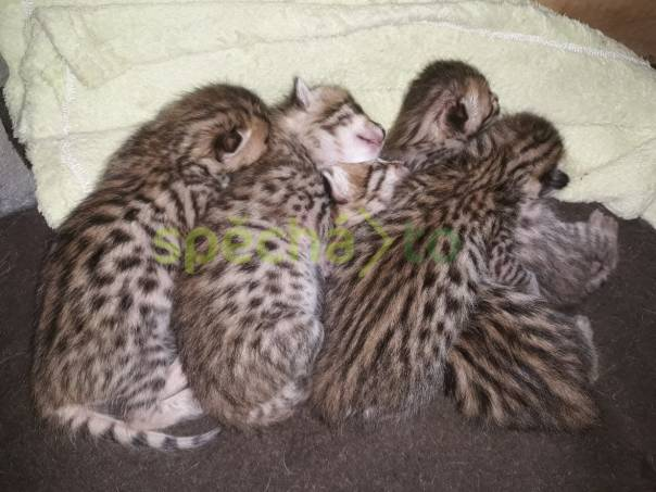 Savannah koťátka, foto 1 Zvířata, Kočky | spěcháto.cz - bazar, inzerce zdarma