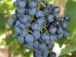 Sazenice vína , Zahrada, zahradní příslušenství, Osivo a plodiny  | spěcháto.cz - bazar, inzerce zdarma