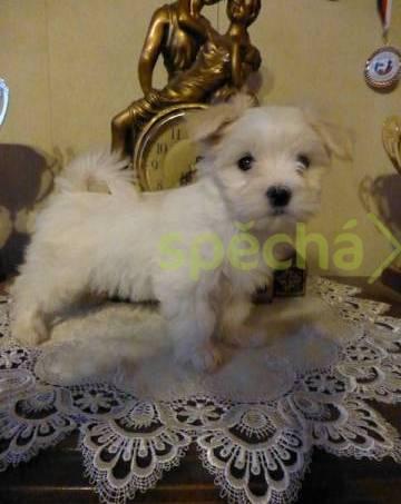 Maltézský psík s PP FCI, foto 1 Zvířata, Psi | spěcháto.cz - bazar, inzerce zdarma