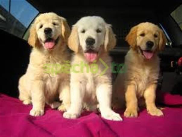 Prodám štěňátka  zlatý retriever              , foto 1 Zvířata, Psi | spěcháto.cz - bazar, inzerce zdarma