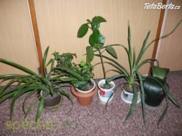 Malé palmičky venkovní yucca