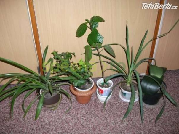 Malé palmičky venkovní yucca, foto 1 Dům a zahrada, Dílna   spěcháto.cz - bazar, inzerce zdarma