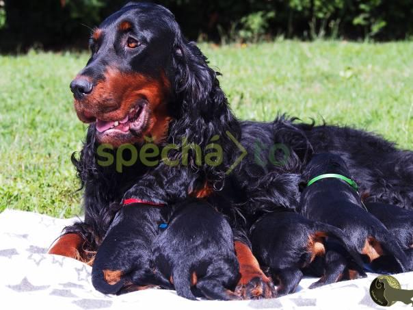 gordon setr štěňata s PP - gordon setter puppies  4d46db2d30