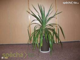 Větší pokojové květiny - palma, agáve, klívie, kovboj. kaktus
