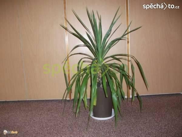 Větší pokojové květiny - palma, agáve, klívie, kovboj. kaktus, foto 1 Dům a zahrada, Dílna | spěcháto.cz - bazar, inzerce zdarma