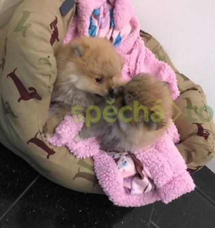 K dispozici jsou roztomilá špiclská štěňata, foto 1 Zvířata, Psi   spěcháto.cz - bazar, inzerce zdarma
