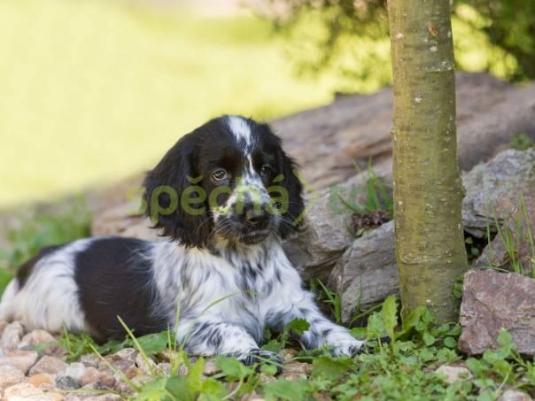 cf43cb97825 Anglický kokršpaněl štěně
