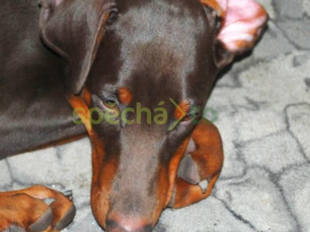 Dobrman štěňata s rodokmenem z CHS HP prodám, foto 1 Zvířata, Psi   spěcháto.cz - bazar, inzerce zdarma