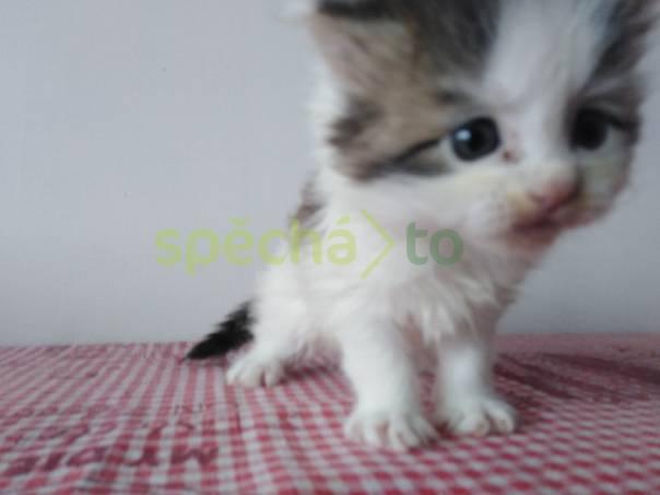 mainská mývalí kotata, foto 1 Zvířata, Kočky | spěcháto.cz - bazar, inzerce zdarma