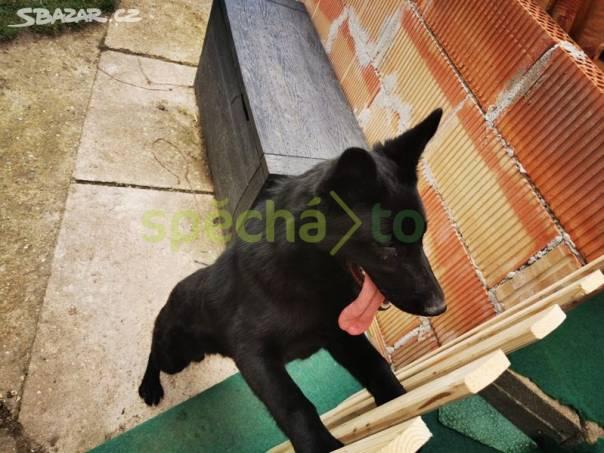 Nemecky ovcak, foto 1 Zvířata, Psi | spěcháto.cz - bazar, inzerce zdarma