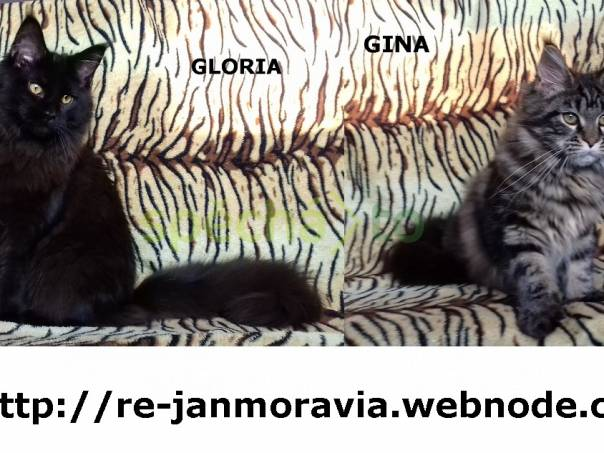 Mainská mývalí kočka prodám koťata s PP, foto 1 Zvířata, Kočky | spěcháto.cz - bazar, inzerce zdarma
