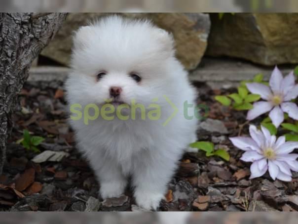 Spitz Pomeranian Trpaslík, foto 1 Zvířata, Terarijní zvířata | spěcháto.cz - bazar, inzerce zdarma